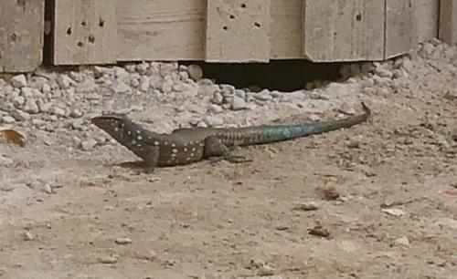 A blue-tail lizard, common on the island.