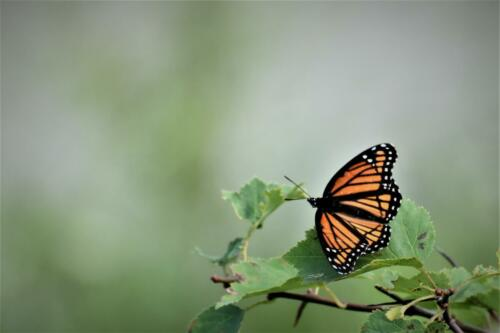 Monarch at rest.