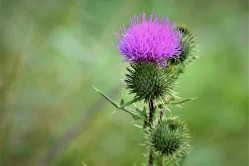 Thistle, blooming.